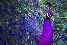 Påfåglar
