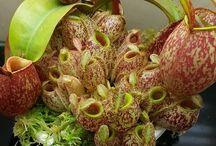 piante huao