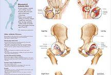 Anatomy / Anatomical explanations