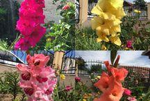Garden / Kardvirág