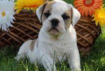 English Bulldog Hybrid Puppies