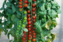 Agricultura urbana / Tomates rapunzel
