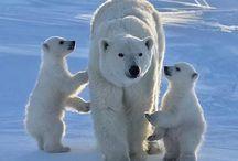 ledni medvedi