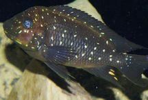 Petrochromis / Petrochromis