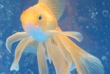 Závojnatka ryba