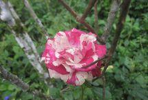 fotografía de rosas