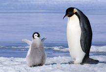 Mamá pinguinito cuida a su bebe