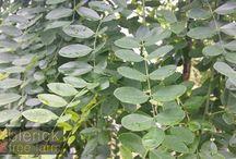 Sophora (Pagona)