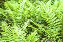 Ferns & Brackens / These ancient, amazing plants give your home and garden a decorative touch that no other plants can - and even add some unique extras like improving air quality, even providing food! Falling into their very own category, learn everything here about the extra special care of ferns and brackens.
