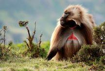 Apes & Monkeys / animals