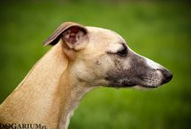 LANA Vincit Omnia / Our first whippet.