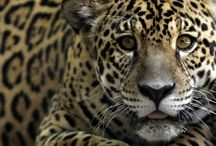 Leopardo Petardi