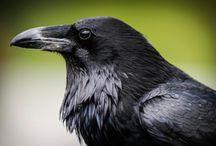 Corvus corax / Common Raven, krkavec velký, krkavec čierny