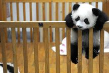 ALL THINGS PANDA :) / by Brittany Harrington