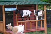 Goat Shelter and Playground / Shelter and playground Ideas for Goats