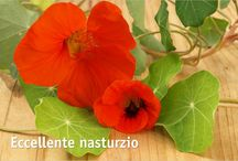 Nasturtium and Morning Glory