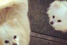 Teddy Bear Pomeranian Dog