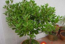 bobkový list ako rozmnožiť