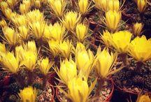 lobivia / cactus, succulent, bloom, flower,