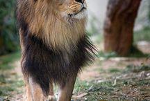 Lion faces
