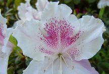 rhododendri