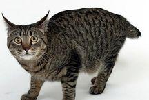 Pixie Bob cat / Cat