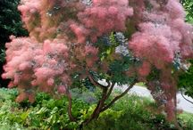 Cotinus Coggygria - Purple Smoke Bush