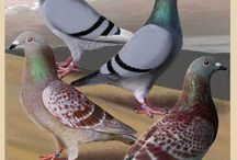 Pigeon Passion / I married a pigeon fancier. This board's for you Jim!