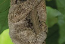 Sloths / 2 and 3 toed sloths / by Lunatic EMT