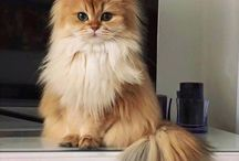 cuki bojhos cica