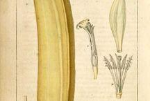 Planche botanique/ Image Documentaire