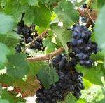 Prepararea vinului / http://www.plik.ro/vin/info/vinificatia.html