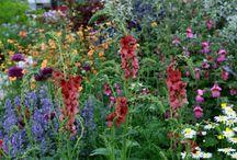Plum-red flowers / Perennials that have rich plum-red flower
