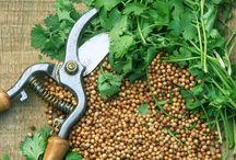 """Coriandre / Le coriandre est une plante herbacée annuelle pouvant atteindre jusqu'à 80cm de haut, Cette plante dégage une odeur désagréable de """"punaise"""". Ses feuilles rappellent la forme du persil plat, elles ont tendance à tomber assez rapidement. (M.Faucon)"""