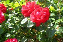 Basic Rose Care for Beginners