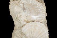 Fossil molluscs