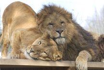 LVI/LIONS