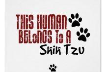 Shih Tzu / Dog