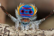 Magnificent Maratus / I felt the minuscule but magnificent Peacock spiders deserved a board of their own out of the shadow of the massive tarantulas...