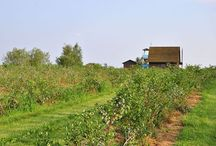 Our plantation / Have a look at our blueberry plantation