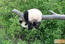 PANDAS!! / by Katty