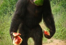 other chimpanzee sanctuaries