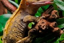 Crested gekoes