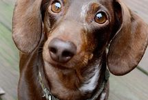 Dachsies <3 / All about Dachshunds