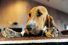 basset hounds / by Tanner Looney