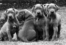 Great Danes / All i need to have and know....