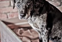 Louisa / Louisianský leopardí pes