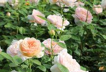 English Rose イングリッシュローズ / 日本でも人気の高いデビッド・オースチン作出のイングリッシュローズ。大好きなバラです!