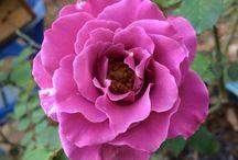 Roses / Beautiful roses, blooming roses, roses in garden.