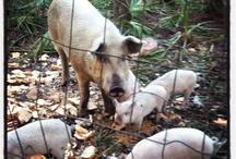 Hugo's Hog Buddies
